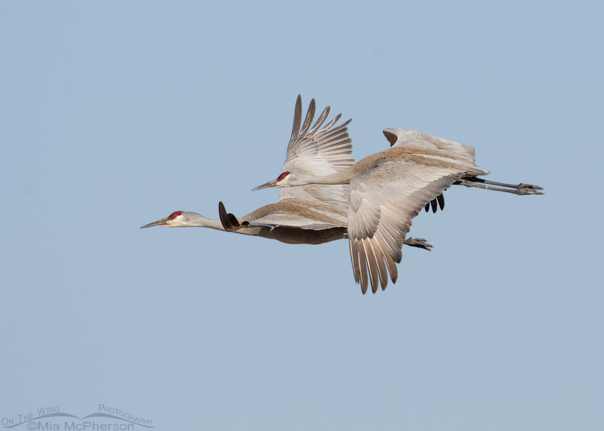 Mated pair of Sandhill Cranes in flight