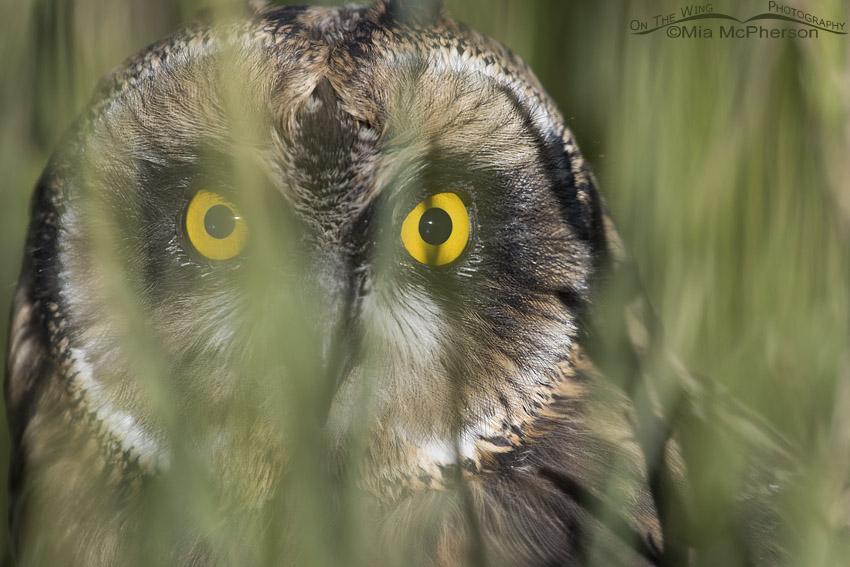 Fledgling Short-eared Owl hiding in grasses
