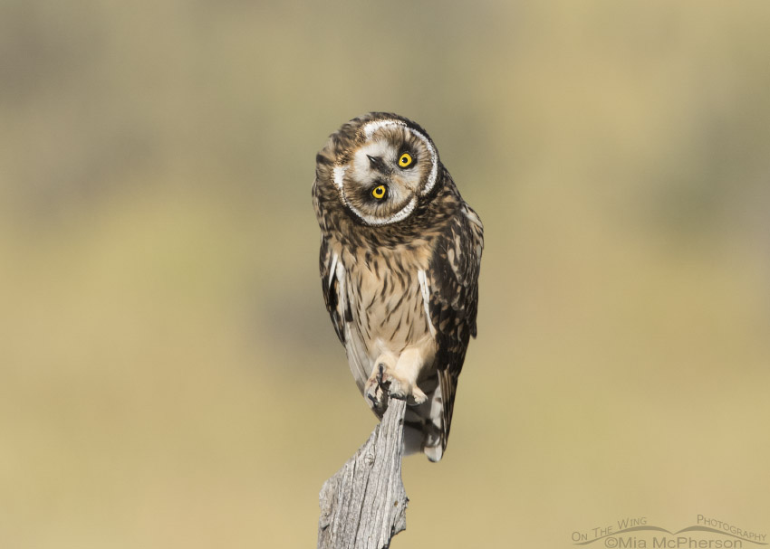 Short-eared Owl fledgling takes parallaxing to the extreme