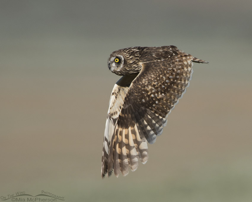 Juvenile Short-eared Owl in flight