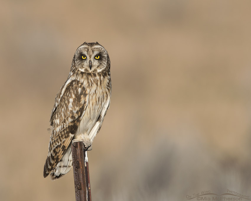 Male Short-eared Owl on a rusty fence post