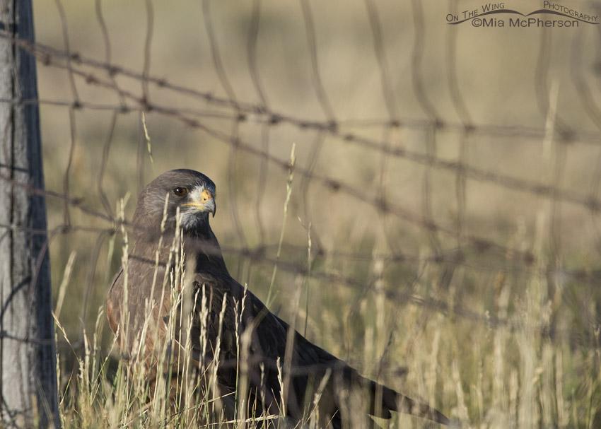 Swainson's Hawk behind a fence