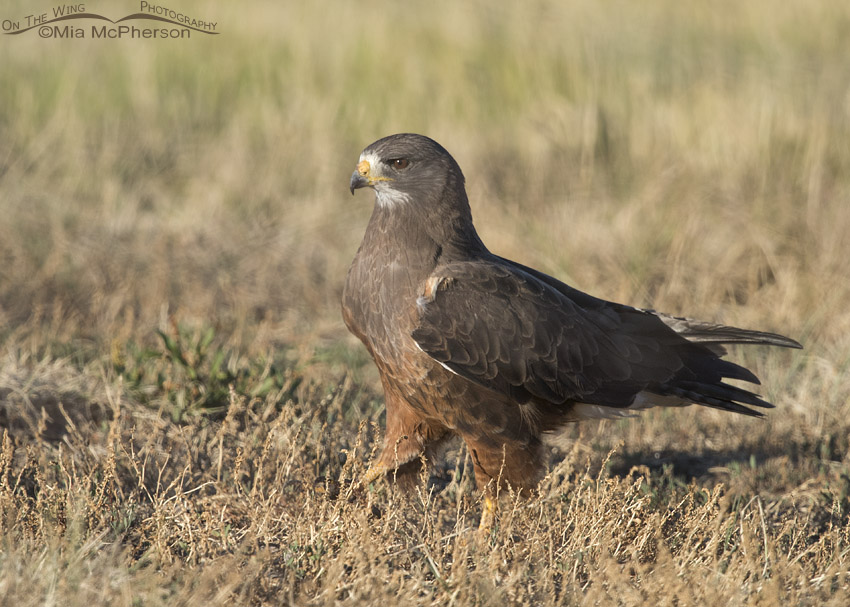 Adult Swainson's Hawk walking