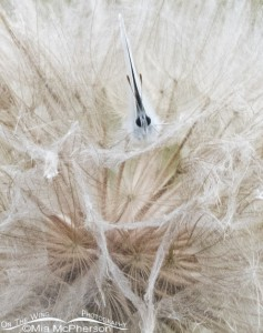 Tiny Butterfly on a Western Goatsbeard Seedhead
