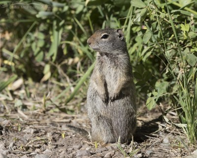 Summit County Uinta Ground Squirrel