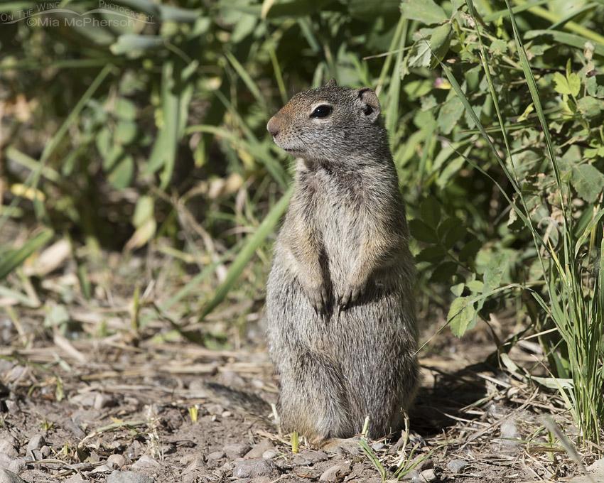 Summit County Uinta Ground Squirrel