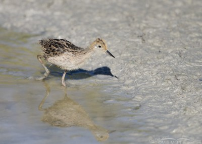 Wilson's Phalarope chick hunting for prey