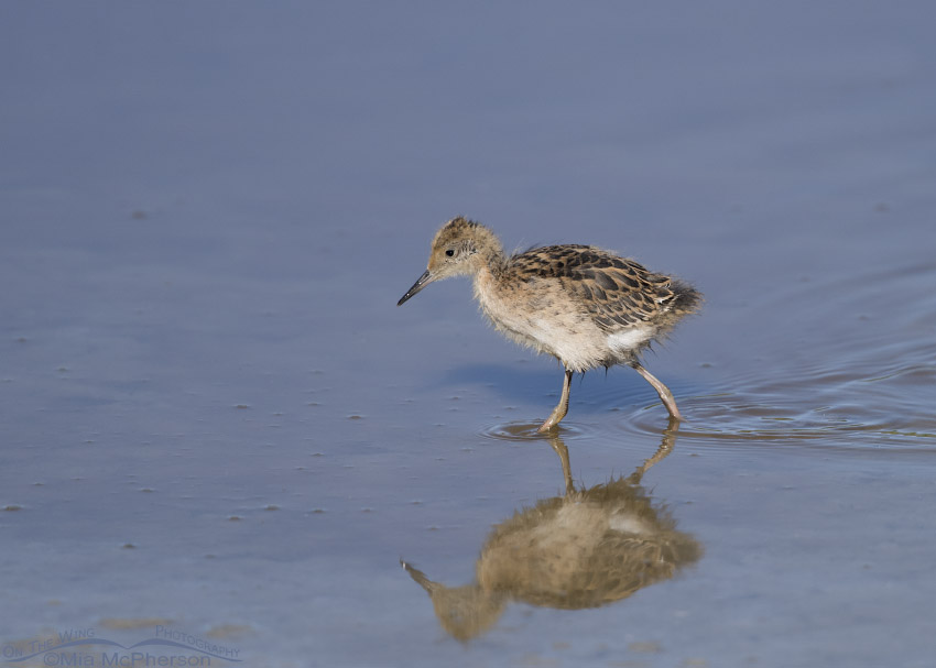 Wilson's Phalarope chick in pond
