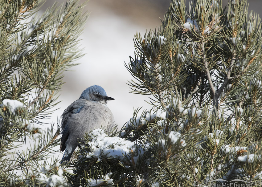Fluffed up Woodhouse's Scrub-Jay on a winter day