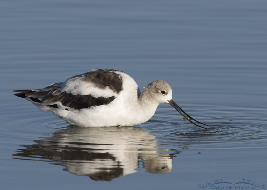 American Avocet eating a tiny crayfish