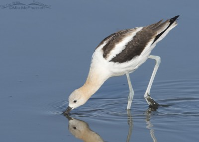 Nonbreeding American Avocet foraging