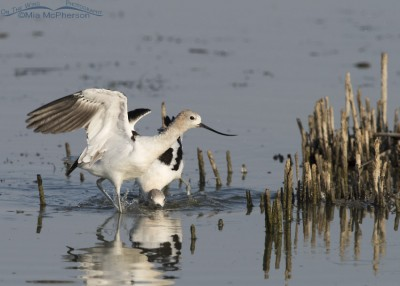 American Avocet gets aggressive