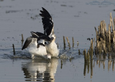 One American Avocet attacking the other