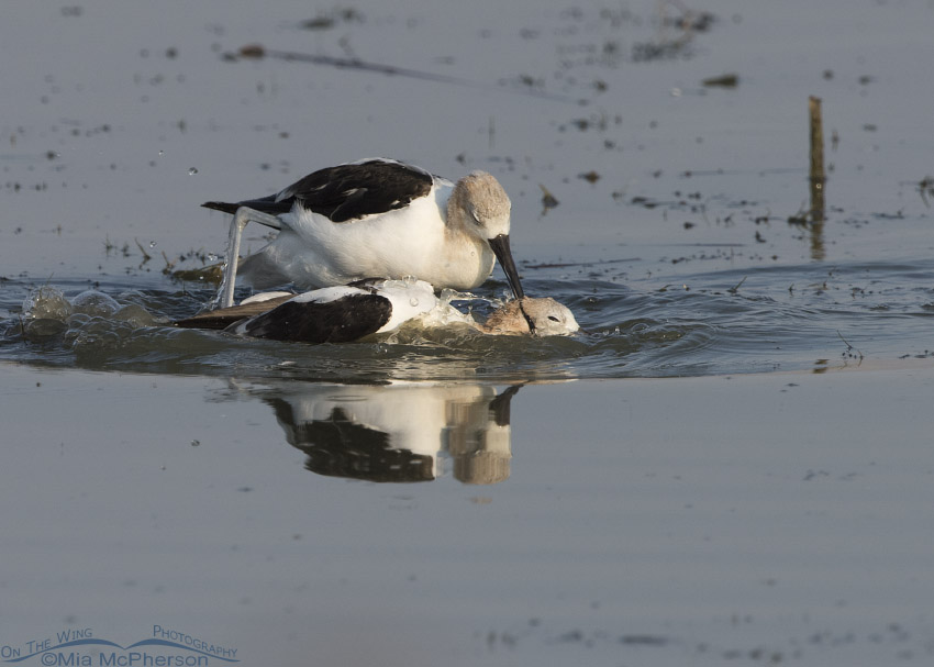 American Avocet pinning down the other