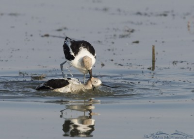 Male American Avocet choking the female