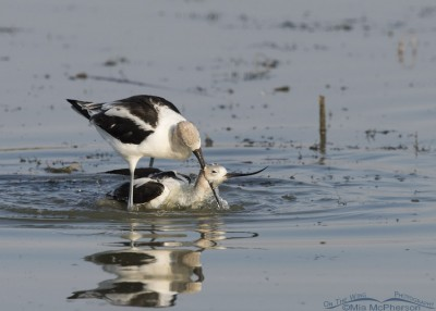 Male American Avocet being aggressive with the female