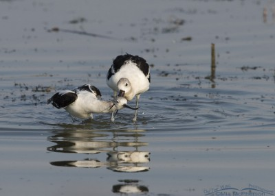 End of American Avocet battle