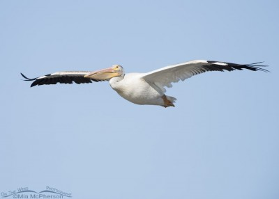 American White Pelican soaring over Bear River MBR