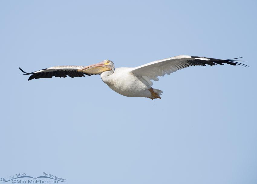 American White Pelican soaring over Bear River MBR, Box Elder County, Utah
