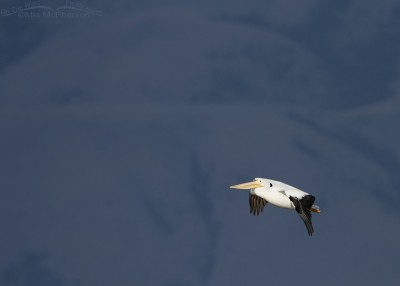 American White Pelican in flight in front of mountains in a shadow