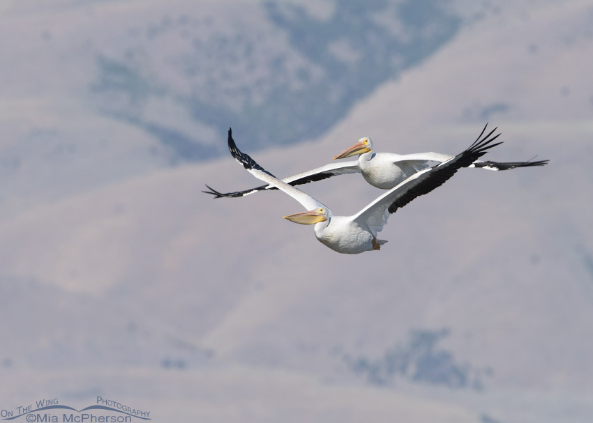 Two American White Pelicans in flight