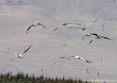 Flock of American White Pelicans at Bear River MBR