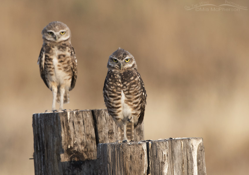 Sibling Burrowing Owl juveniles on old posts