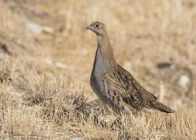 Gray Partridge juvenile in Box Elder County