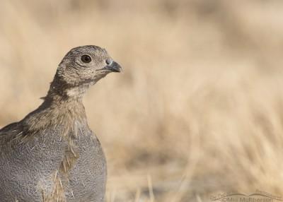 Juvenile Gray Partridge portrait
