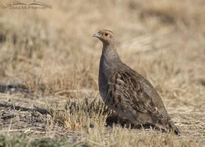 Northern Utah Gray Partridge adult