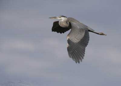 Great Blue Heron in flight in front of storm clouds