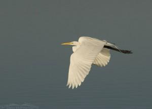 Great Egret in flight over North Beach lagoon