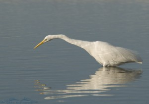 Great Egret stretching out to catch a fish