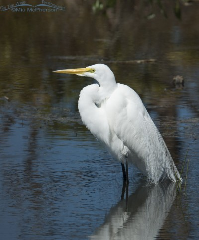 Lake Seminole Great Egret
