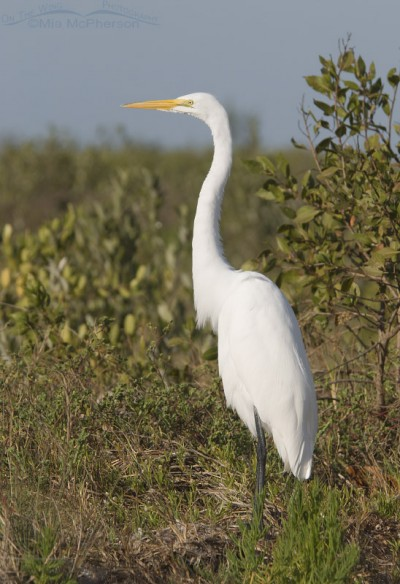 Great Egret resting in mangroves and grasses