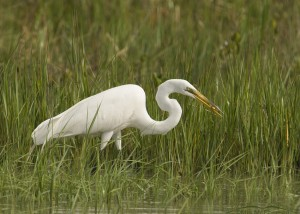 Great Egret in a marsh with prey