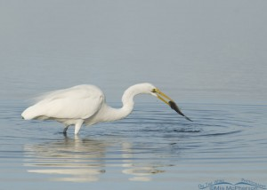Florida Great Egret and Mullet