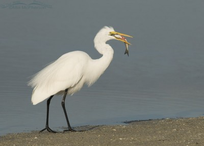 Great Egret eating a Mullet