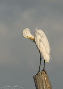 Preening Great Egret on stump