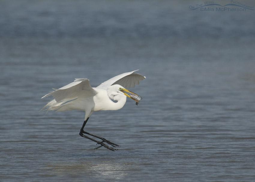 Great Egret landing with dinner