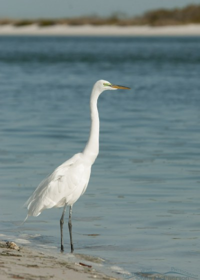 Great Egret posing on the Gulf shoreline