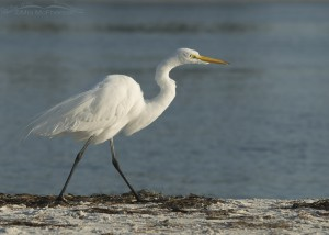 Great Egret walking on the wrack line
