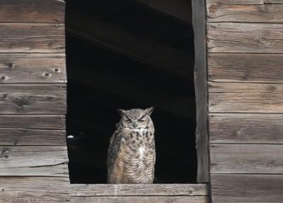 Sleepy Great Horned Owl male