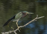 Green Heron stretching
