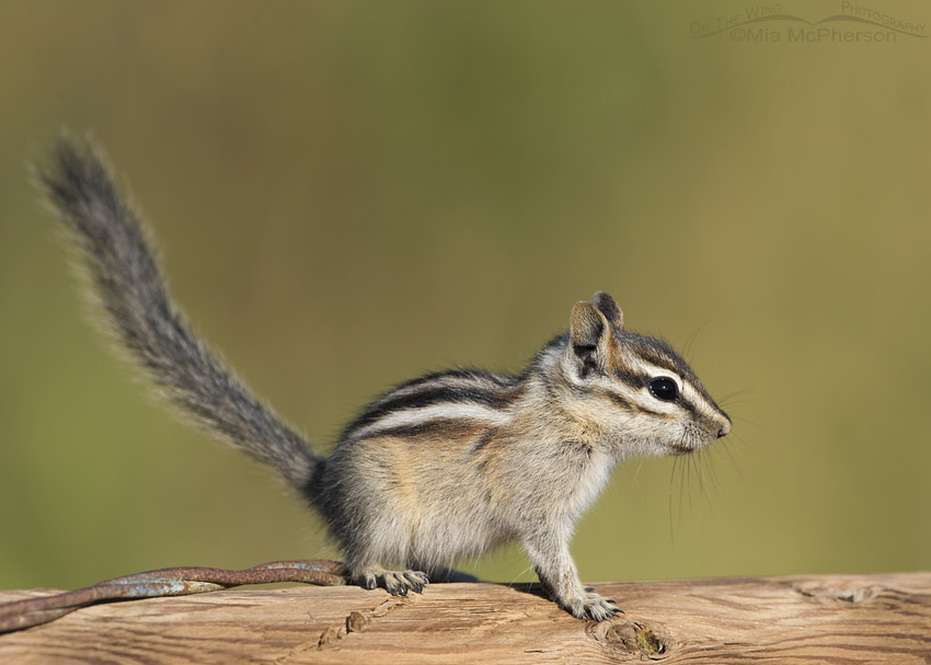 Least Chipmunk in the Wasatch Mountains