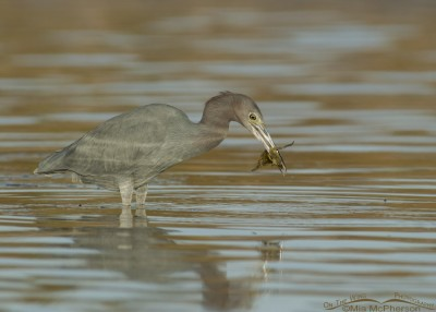 Little Blue Heron with Blue Crab