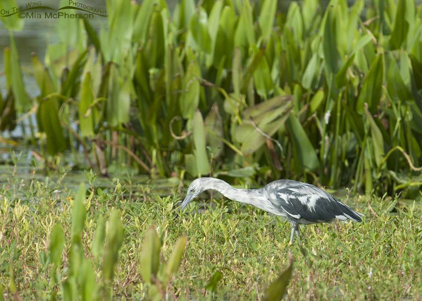 First Summer Little Blue Heron