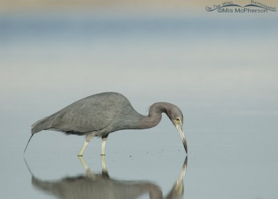 Little Blue Heron in still water