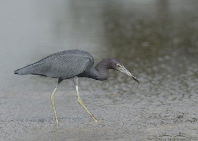 Little Blue Heron on gray background