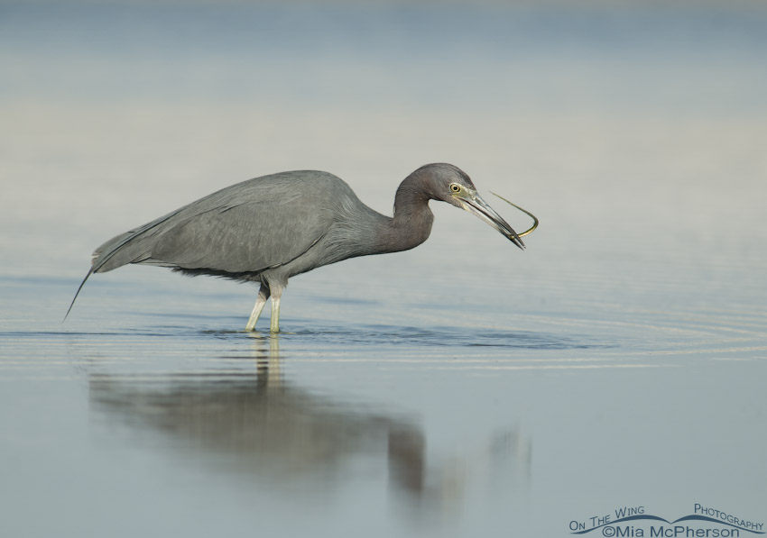 Adult Little Blue Heron snags a pipefish